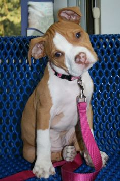 Find images and videos about dog and pitbull on We Heart It - the app to get lost in what you love. Amstaff Terrier, Pitbull Terrier, Bull Terriers, Dogs Pitbull, Cute Dogs And Puppies, I Love Dogs, Doggies, Beautiful Dogs, Animals Beautiful