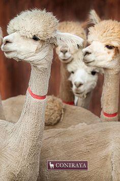 Hello, how are you? ;) #alpacas #coniraya #alpakino #alpaca