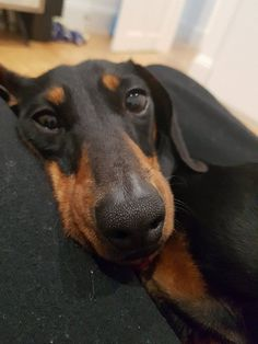 Available Dogs | #dachshund Rescue Australia