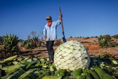 America's Role in Latest Fight for Small Mezcal: Big distilleries in Mexico are waging a battle for market share in the U.S., often at the expense of small producers. Sarah Bowen on how a new proposition—NOM 199—threatens the livelihood of small distillers throughout Mexico, and how Americans play a big role in its fate.