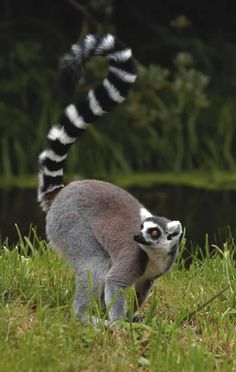 Ring-Tailed lemur; Source: http://www.answersingenesis.org/assets/images/articles/zoo/Ring-Tailed_Lemur.jpg