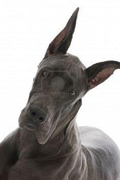 Great Dane Lab Mix Puppy 10 Weeks I Want One Dane Puppies Great Dane Puppy Great Dane Dogs
