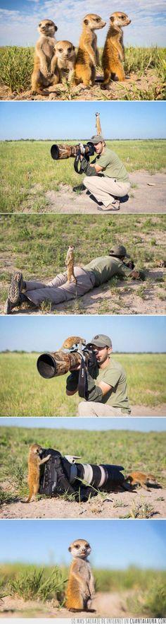 Suricatas, fotógrafos en potencia