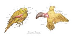 Image result for canary anatomy