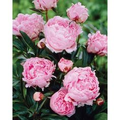 Find Van Zyverden Peonies Sarah Bernhardt, Set of 5 Roots in the Perennials category at Tractor Supply Co.Peonies are perennials and are known t Bulb Flowers, Crocus Bulbs, Gladiolus Bulbs, Peony Root, Bloom, Peonies Garden, Flowers Garden, Gardens, Exotic Flowers