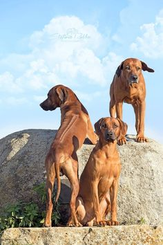 This is a photo study of the Rhodesian Ridgeback. Not all photos are mine but were found on the...