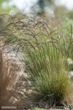 festuca amethystina - All About Green Garden, Garden Plants, Landscape Design, Garden Design, Herbaceous Border, Low Maintenance Garden, Ornamental Grasses, Backyard Landscaping, Shrubs