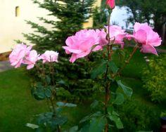 Jesienna róża