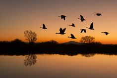 Canadian Geese Flying Over Horizon at Sunset