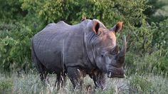 As Rhino Poaching Surges, South Africa Proposes Legalized Trade in Precious Horns By John R. Platt   July 12, 2013  The South African government released two important and shocking news items last week.....