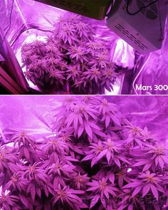 Mars 300W led grow light hydro. The Mars 300W light covers 1.5ft by 2ft area and is perfect for 1-2 plants. Great for personal growers who just start growing. 64.99USD with free shipping to US. Lowest price ever! #marshydro #ledgrowlight #cannabis