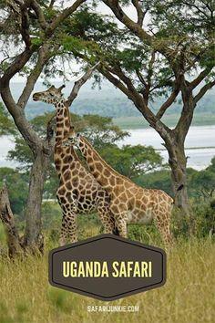 Bucket list goals: Uganda safari with Gorilla trekking. Volunteer In Africa, African Tree, Gorilla Trekking, Africa Destinations, Mountain Gorilla, Safari Adventure, Wildlife Safari, Cool Photos, Amazing Photos