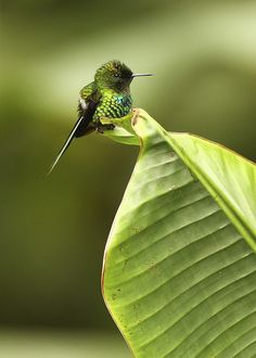 Bee Hummingbird. The tiniest bird species on the planet.
