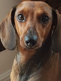 This looks exactly like my doxie!!