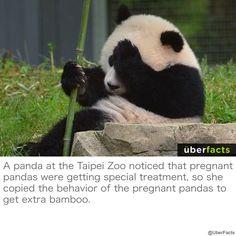 This Sneaky Panda Is Your New Spirit Animal Wild Panda, Niedlicher Panda, Cute Panda, Panda Bears, Panda Mignon, Animals And Pets, Cute Animals, Unique Animals, Bulldog Puppies