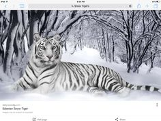 Siberian Snow Tigers can live in jungles, or snowy places.