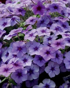 Intensia® Blueberry - Phlox hybrid heat-loving annual. attracts butterflies, tolerates drought. grows foot tall spreads in sun containers or beds