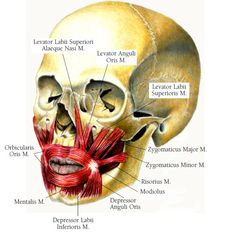 zygomaticus major dimples Human Body Anatomy, Head And Neck, Baron, Dimples, Textbook, Surgery, Art Reference, Lord, Medical