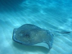 Types of Rays - Southern Stingray