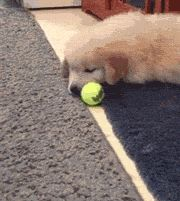 Puppy Playing With Tennis Ball For The First Time