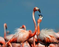 st willibrordus Flamingos curacao - Google Search