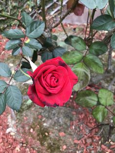 Found out what type of flowers we have in the front yard! #gardening #garden #DIY #home #flowers #roses #nature #landscaping #horticulture