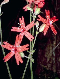 Silene virginica (Fire pink) found in eastern North America.