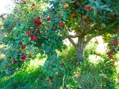 Also stopped at the orchard to take pictures. Orchards, Fruit Trees, Blossoms, Apples, Seeds, Gardens, Farmhouse, Exterior, Pictures
