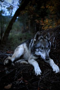 """ivar-the-real-wolfdog: """" Ivar the wolfdog at nearly 7 months old. """""""