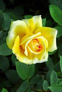 hybrid tea rose bush – Famous Last Words Botanical Flowers, Flowers Nature, Exotic Flowers, Amazing Flowers, Beautiful Roses, Beautiful Flowers, Pretty Roses, Roses Only, Growing Roses
