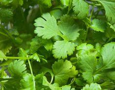 growing cilantro: a close-up in the garden