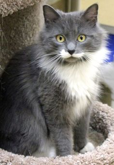 Lulu is a spirited, petite, long-haired female. Although she is two years old, she looks almost like a kitten. For information on shelter hours and the adoption process, please go to www.mansfieldshelter.org.
