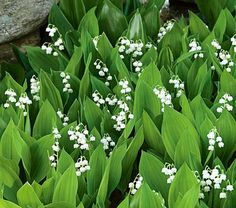 lily of the valley, full-part shade, blooms may-june, fragrant, deer resistant, woodland garden ground cover, spreads well.