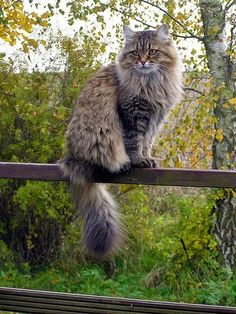 Looks like a big ol' Maine Coon to me. We have a black one. They are GORGEOUS! mk via ca