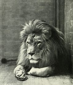 The Barbary lion, sometimes referred to as the Atlas lion, is an African lion population that is considered extinct in the wild. It is believed that the last Barbary lion was shot in the western Maghreb during the year 1942 near Tizi n'Tichka. Lion Species, Wild Cat Species, Extinct Animals, Rare Animals, Wild Animals, Desert Animals, New York Zoo, Lion Africa, New Zealand