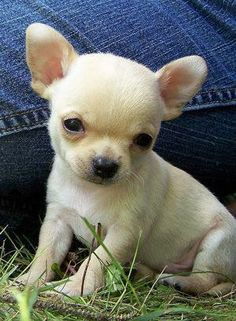 Best 25  Teacup chihuahua ideas on Pinterest