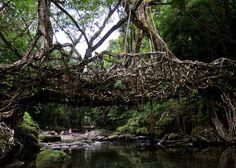 Bridge of roots