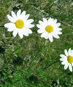 MAYWEED: (Anthemis cofula). Photograph taken June 20, 2013 on the campus of Slippery Rock University in Butler County, PA.