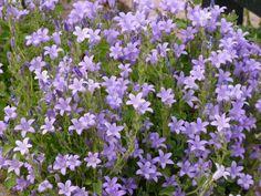 Campanula portenschlagiana 'Resholt Variety' - juni/augustus - 10-15cm - wintergroen - bodembedekker