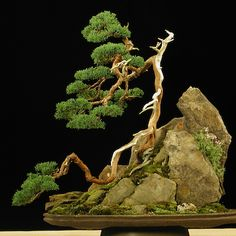 Colin Lewis Bonsai; I enjoy the scene evoked here- a steep craggy mountain, a tree shaped by fierce wind. 'The Natural Choice is always best'- HOYOKU! Maine
