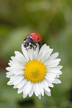 Seven-spotted Ladybird On Common Daisy By Konrad Wothe