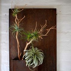 "Everything you need to create a beautiful, unique Airplant ""Tree"". Great for airplant aficionados and newbies alike.     Includes  (1) Large Xerographica (the big one that looks a bit like a very stylish corsage)   (2) Medium Airplants   (5) Small Airplants   (1) Container of clear Kraft Glue (0.18 fluid oz)   (1) Bag of course white sand for ""planting""   (1) Manzanita Branch"