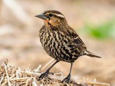 Melro vermelho, fêmea adulta. Semelhante ao Meadowlark ocidental, mas menor, bico curto. Apresenta densas estrias escuras no peito e pernas pretas.  Fotografia: © hjhipster no Flickr.