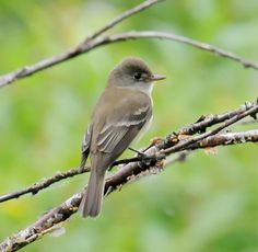 Willow Flycatcher (E.t. adastus), a subspecies, is the EASTERN NOMINATE SUBSPECIES of the willow flycatcher. It was described by Audubon in 1828. It breeds from the eastern coast of the United States to the western Rocky Mountains.