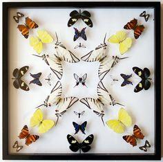 pinned butterfly