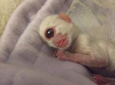 One unusual event happened in Oregon City in the United States. A kitten was born with only one large eye grown on the position of its nose on December 28, 2005. This type of deformity is known as Holoprosencephaly. Besides one eye, the kitten was also found to have no nose at all. This deformed kitten finally died two days after it was born.