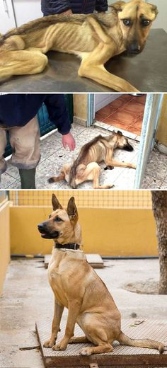 10+ Incredible Before & After Rescue Dog Transformations Show What Love Can Do Starving Dog Who Couldn't Stand Up Makes An Incredible Transformation After 7 Weeks Of Treatment