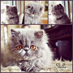 Stella the blue Persian follow her on Facebook