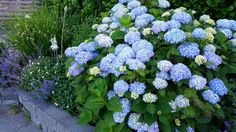 Hydrangea plants provide shrubby backgrounds of lacy blooms all summer long. Like most flowering plants, pruning hydrangeas can help the plants stay healthy. Pruning Plants, Pruning Hydrangeas, Types Of Hydrangeas, Hydrangea Varieties, Hydrangea Landscaping, Hydrangea Colors, Hydrangea Garden, Garden Shrubs, Flowering Shrubs