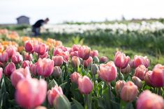 How to Grow Tulips - via Floret Flowers; Tulips are one of the most popular cut flowers on the market. As one the easiest spring bulbs you can grow, they're a mainstay in the spring cutting garden. Cut Flower Garden, Tulips Garden, Garden Bulbs, Planting Flowers, Growing Tulips, Growing Sweet Peas, Tulip Fields, Field Of Tulips, Tulips